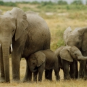 elephants_Peter Knights